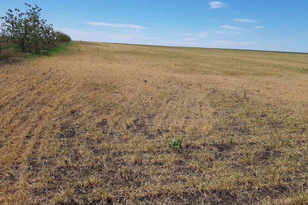 Засуха на поле хозяйства «Виктория»