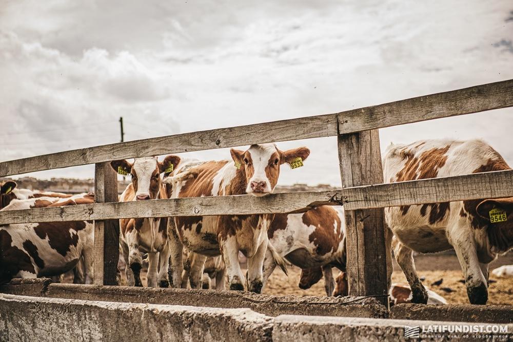 Коровы на ферме A.G.R. Group