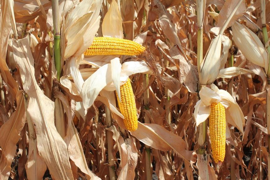 Кукуруза на полях «УкрАгроКома»