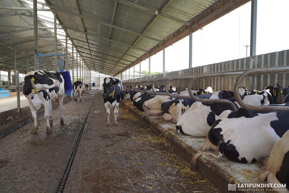 Коровы на ферме «Теофипилка»