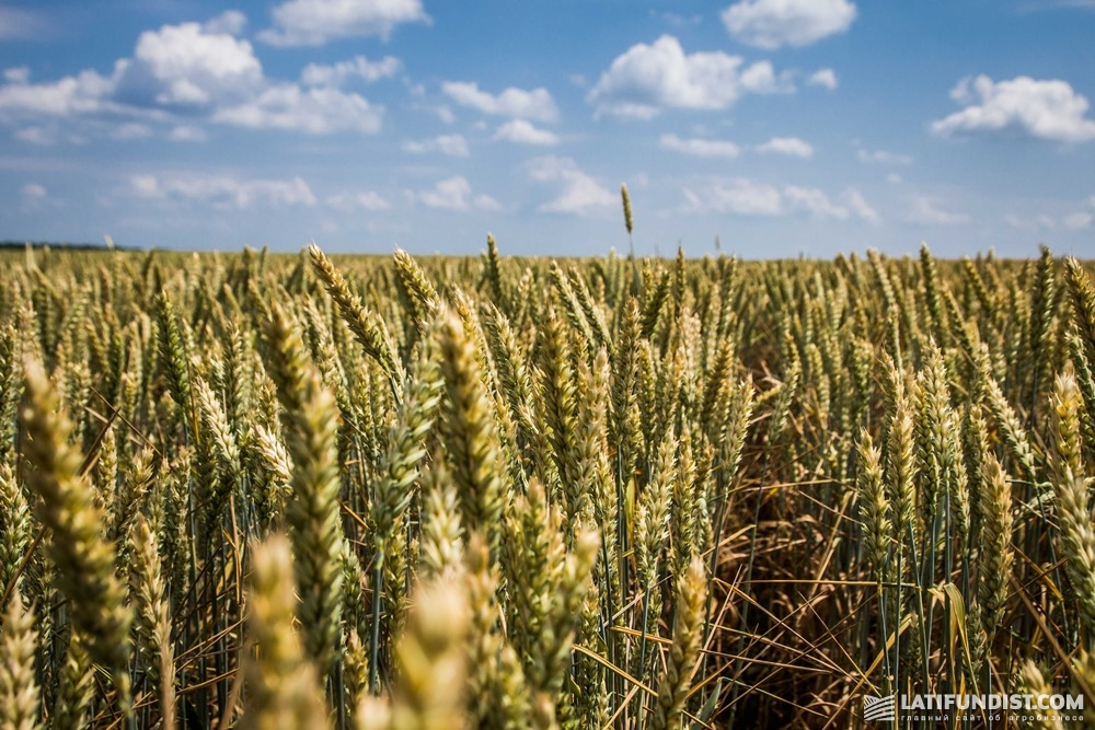Пшеница «Барышевской зерновой компании»