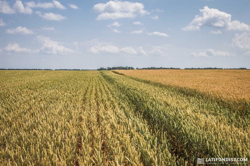 Поле пшеницы «Барышевской зерновой компании»