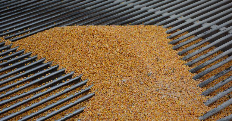 Прием кукурузы в Grain Alliance