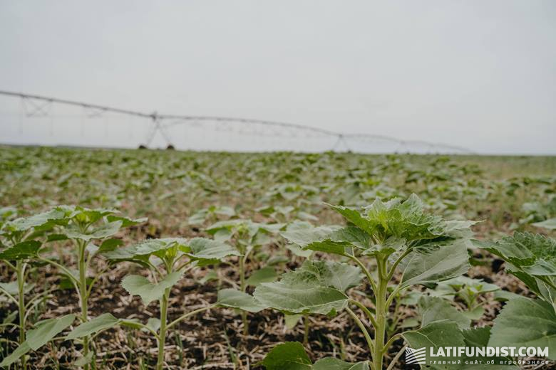 Орошение посевов подсолнечника