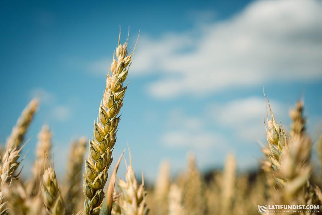 АгроЭкспедиция Пшеница 2019