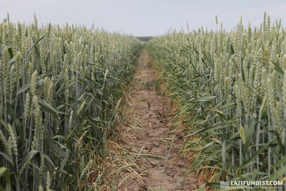 Озимая пшеница, представленная на Дне поля