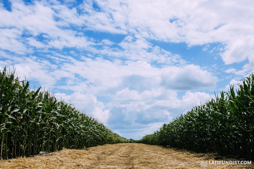 Демонстрационные поля кукурузы
