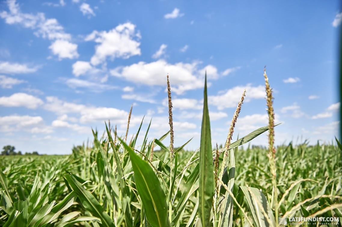 Метелки на кукурузе