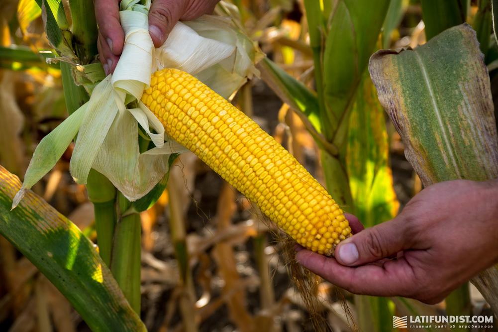 Кукуруза агрофирмы «Лан»