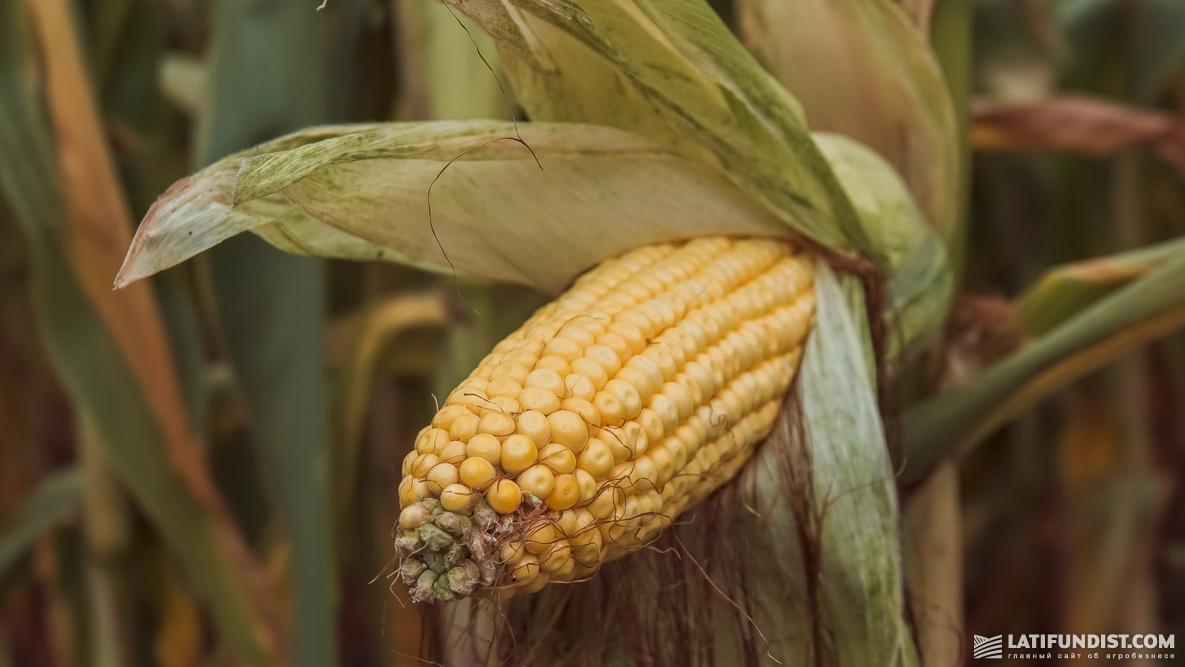 Кукуруза селекции Limagrain