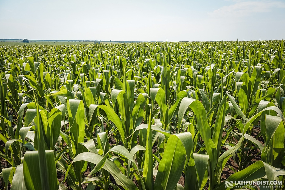 Кукуруза в поле компании «Билагро»