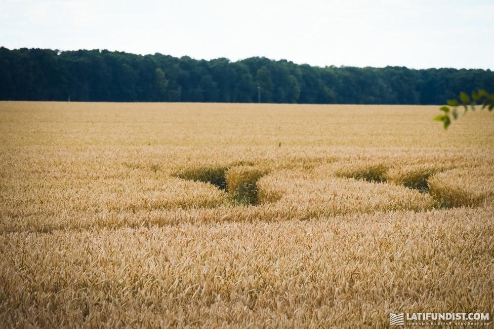 Товарные посевы пшеницы компании «Кищенцы»