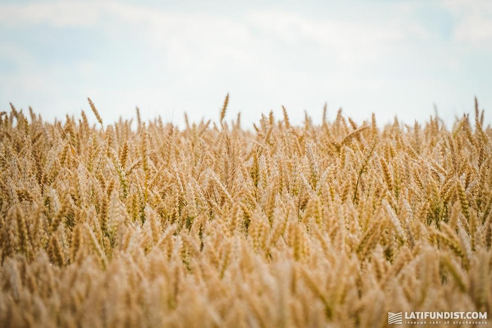 Пшеничное поле ФХ «Кищенцы»