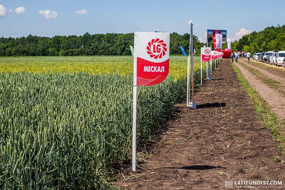 Пшеница сорта Мескаль