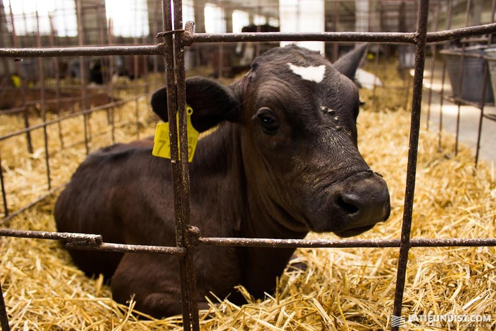 В нетельном комплексе находится 3027 коров всех возрастов