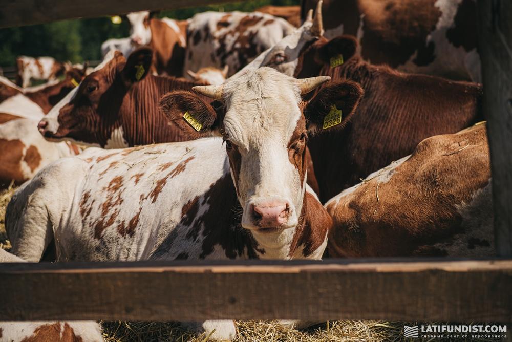 Животные телятся в группе, и теленок в среднем 7-10 дней после рождения находится около группы