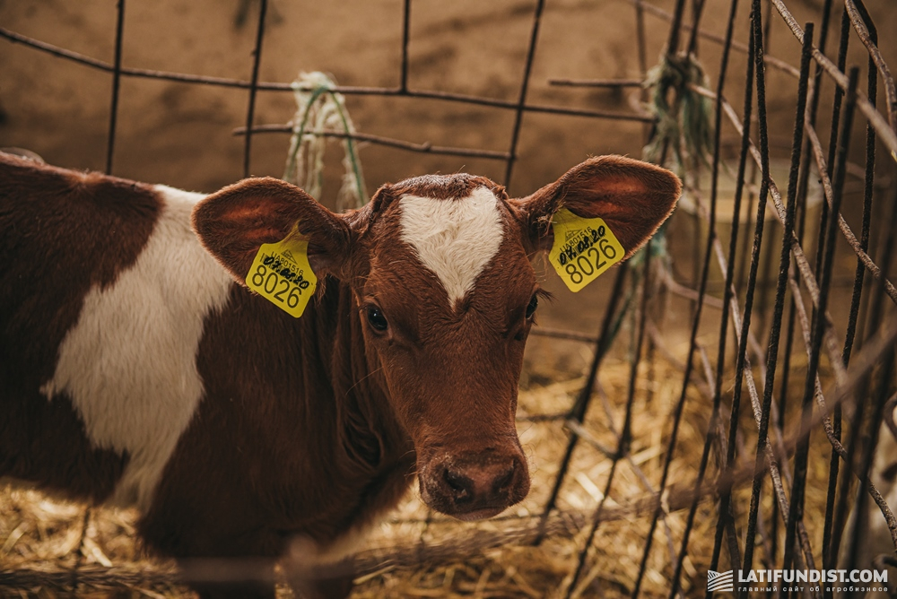 Then, if it drinks well and feels good, it is passed on to a breeder who takes care of calves until the age of 2 months