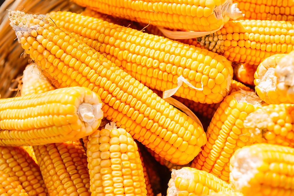 Кукуруза гибридов UNIQUEDENT