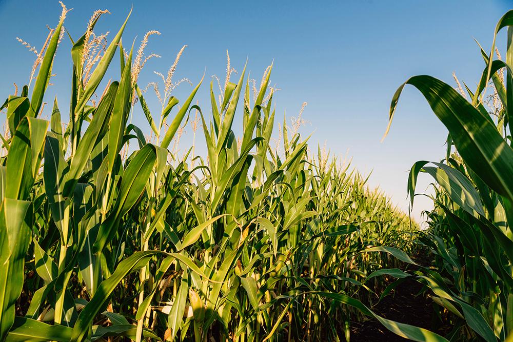 Посевы кукурузы линейки UNIQUEDENT