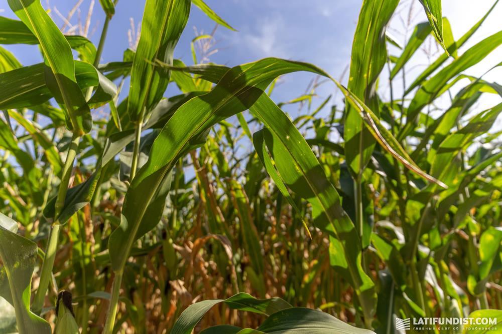 Посевы кукурузы компании «Калипсо»