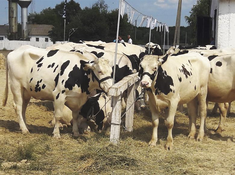 КРС на предприятии агрохолдинга «Кернел»