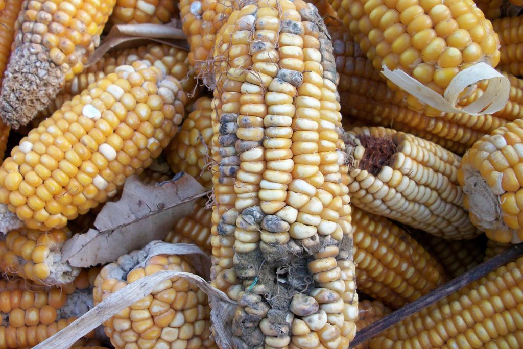 Микотоксины на кукурузе