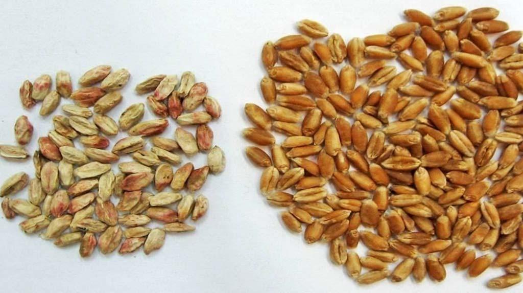 Микотоксины на зернах пшеницы