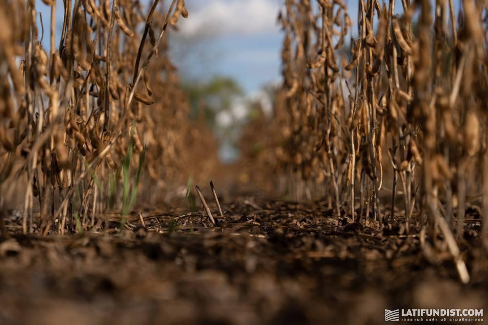 Посевы пожнивной сои агрофирмы «СиНа»