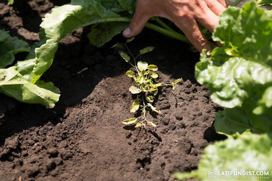15 июня — десять дней после заключительной гербицидной обработки сахсвеклы на Smart Field