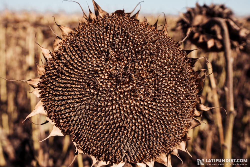 Урожайность подсолнечника на участке, где применялся Оскар Премиум® - 34,6 ц/га