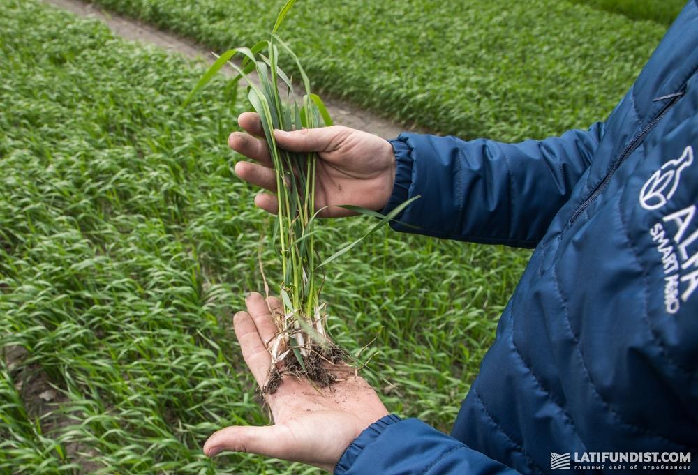 Состояние озимой пшеницы агроном оценивает как очень хорошее