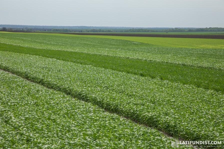 Мы на месте. На опытных участках   — разные культуры, сорта и нормы высева. Здесь специалисты ALFA Smart Agro тестируют новые препараты и разрабатывают лучшие системы защиты растений
