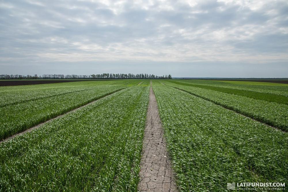 Участок с озимой пшеницей