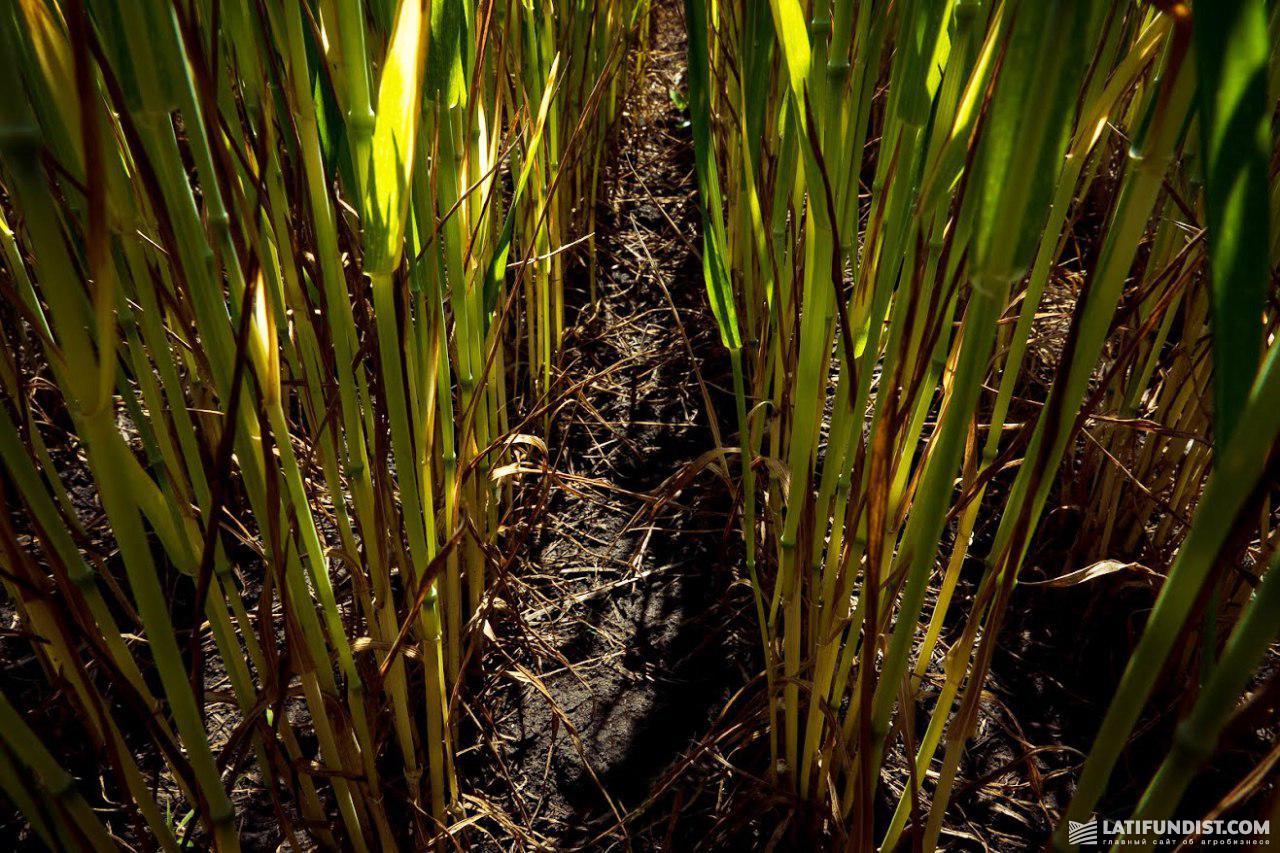 От сорняков на пшенице в «АГРОТРЕЙДЕ» применяют Триатлон®