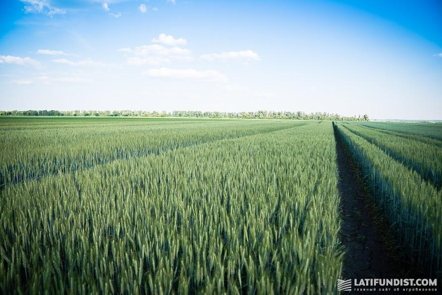 Озимая пшеница на Smart Field в образцовом состоянии. Колос надежно защищен от инфекций благодаря превентивному внесению фунгицида Тезис®