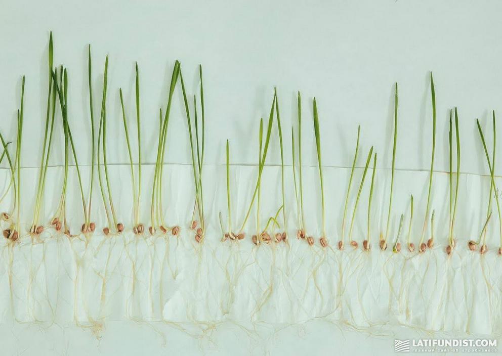 Результаты применения Авиценны® (0,6 л/т), 8-й день. Рост наземной части соизмерим с ростом корневой системы