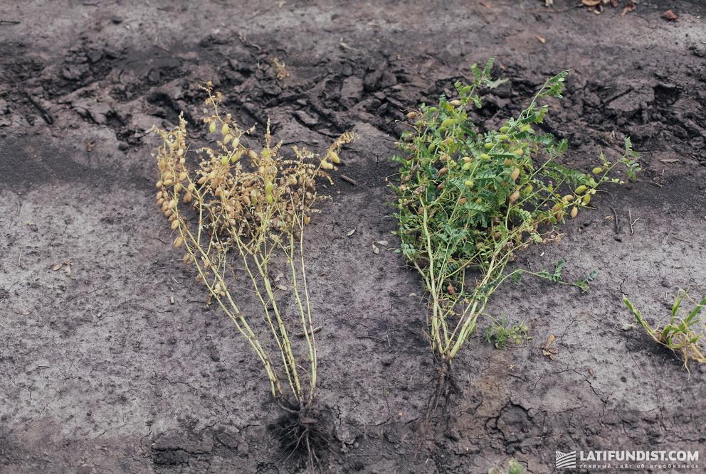 Четыре дня после десикации Альфа-Дикватом®: обработанное растение и контроль