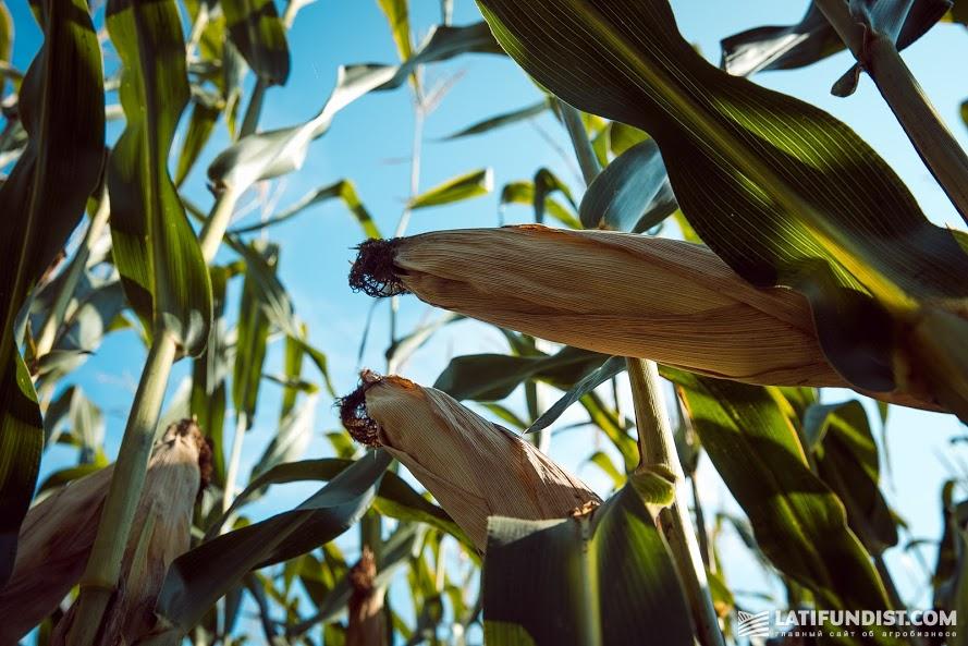 Кукуруза на Smart Field сейчас