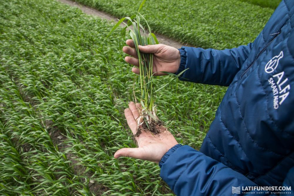 29 апреля — озимая пшеница чувствует себя прекрасно: корневая система крепнет, растет вегетативная масса