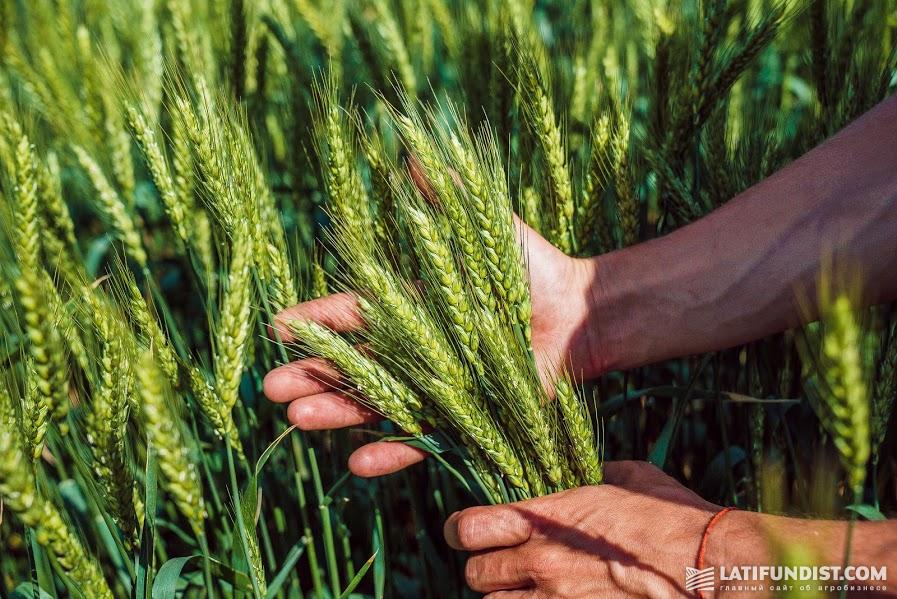 31 мая — здоровая пшеница «наливает» зерно