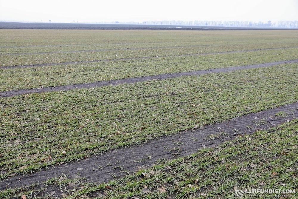 На участке, который мы посетили, высеяны 14 сортов озимой пшеницы