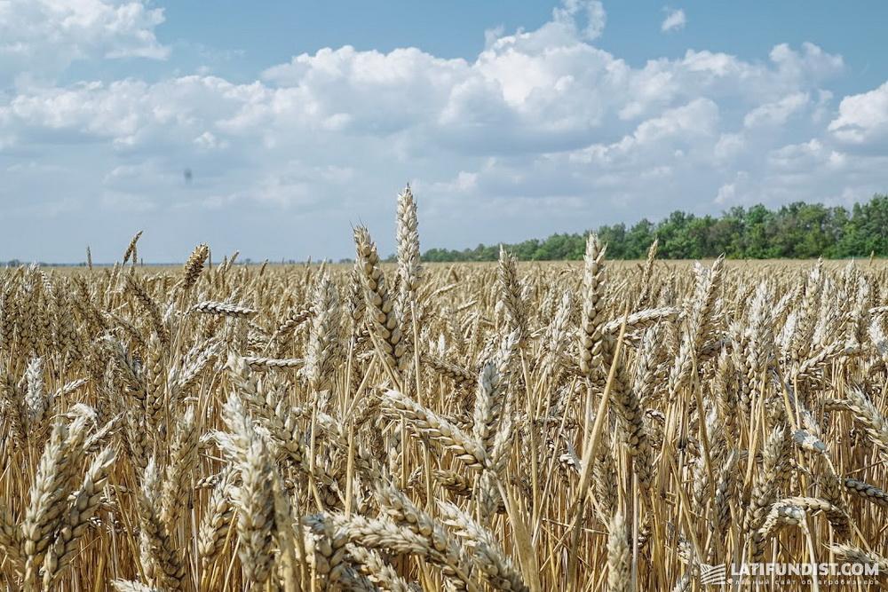 Семена пшеницы протравливали препаратами Авиценна и Командор Экстра