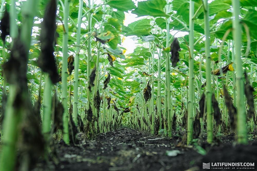 Действие гербицида Сантал длится до двух месяцев