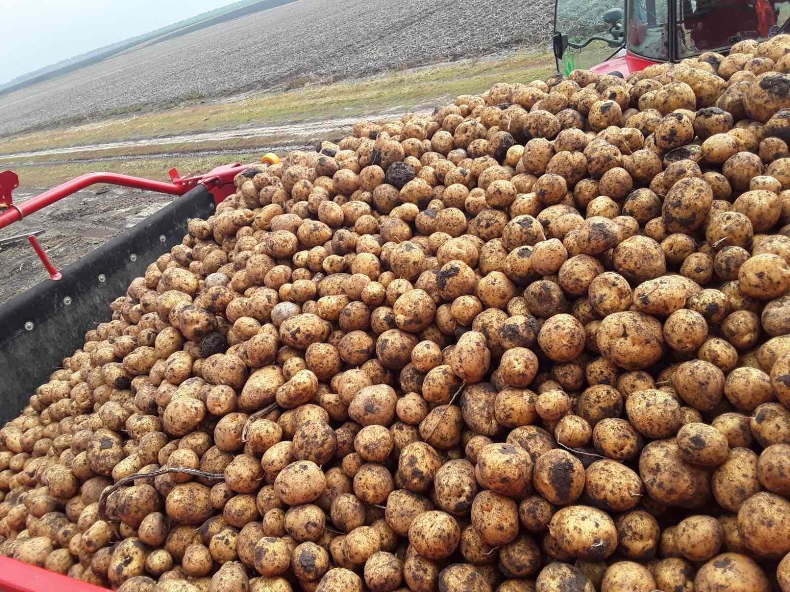 Картофель в бункере комбайна в 2020 г. (физическое загрязнение и травмирование клубней минимальные) в агрохолдинге «Континентал Фармерз Групп»