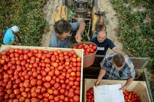 Уборка урожая томатов на предприятии в Польше