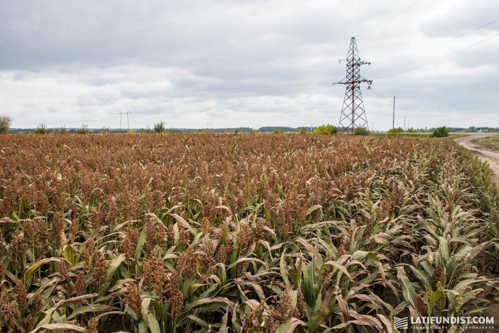 Сорго можно сеять после любых культур полевого севооборота