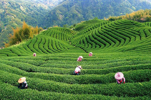Чайные плантации Китая