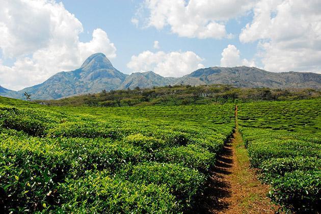 Бразильская плантация кофе