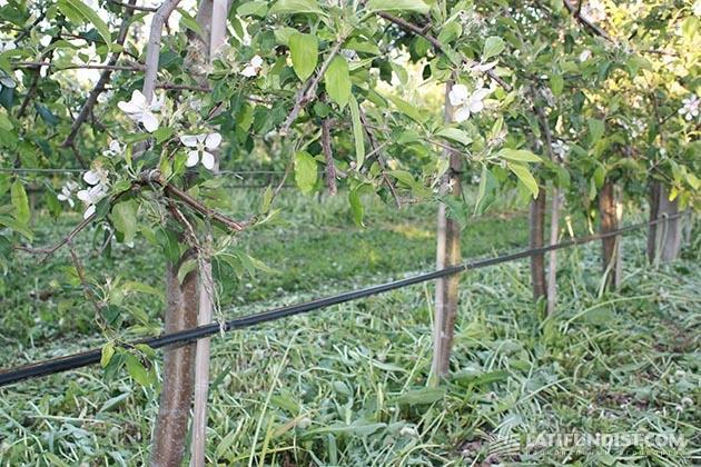Капельное орошение в садах «Сварог Вест Груп»