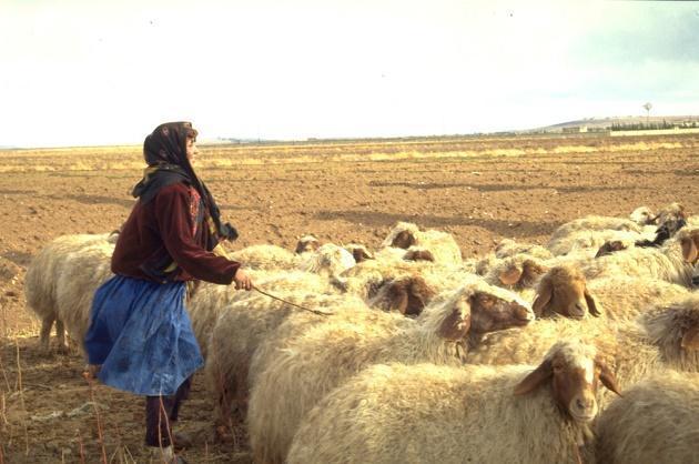 Животноводство Сирии